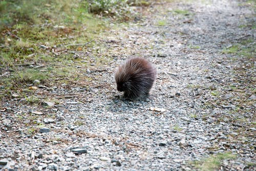porcupine on trail; Free Nature Stock