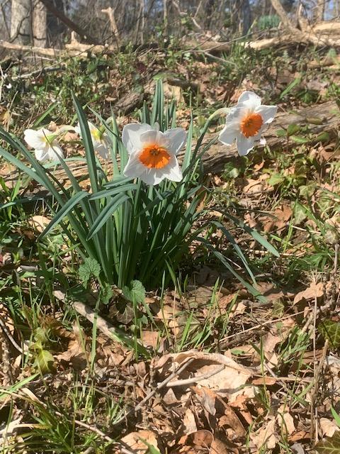Daffodils; Juliann Scholl