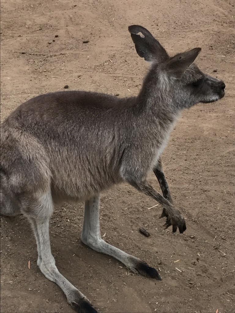 kangaroo, Australia, Doug McNamee