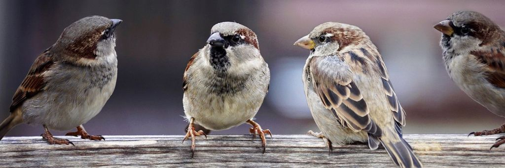 four sparrows sitting together, image by Pixabay